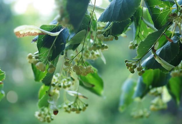 Фото рецепта - Сироп из цветов липы - шаг 2